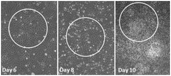 Stemgent®干细胞研究——mRNA 重编程试剂盒-转染试剂