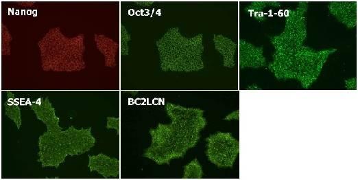 StemSure® hPSC Medium Δ人多能干细胞培养基-WAKO和光纯药
