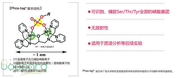 磷酸标记生物素免疫印迹试剂 Phos-tag Biotin BTL-104-WAKO和光纯药