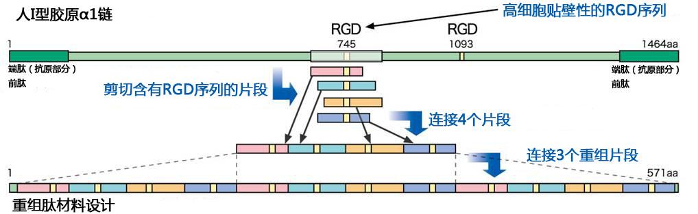 细胞外基质涂层cellnest人Ⅰ型重组胶原蛋白肽