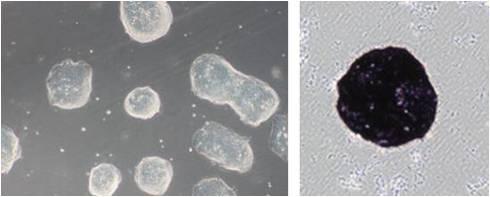 ES细胞・iPS细胞培养用血清代替品-价格-厂家-供应商-上海金畔生物科技有限公司