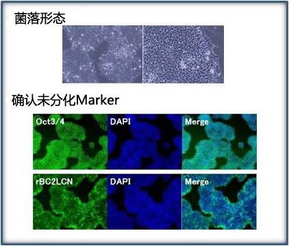 玻璃粘连蛋白(20-398aa),人, 重组体, 溶液  细胞粘附蛋白-价格-厂家-供应商-上海金畔生物科技有限公司
