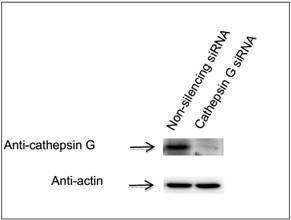 GenomONETM-Neo EX 仙台病毒包膜(1只装)转染试剂-价格-厂家-供应商-上海金畔生物科技有限公司