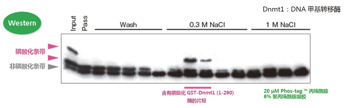 SuperSep Phos-tag™ 预制胶(蛋白磷酸化研究)-价格-厂家-供应商-上海金畔生物科技有限公司