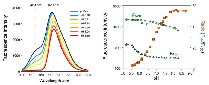 DNA特异性细胞核实时成像试剂NucleoSeeing-细胞培养-wako富士胶片和光