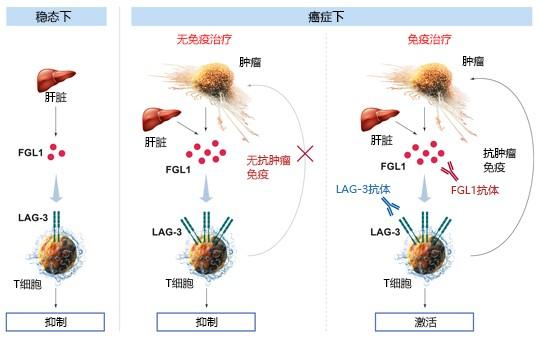 LAG-3免疫检查点-疾病研究-wako富士胶片和光