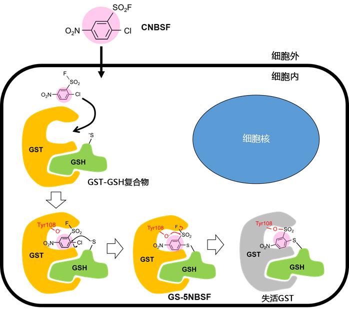 可用于活细胞的不可逆GST抑制剂-疾病研究-wako富士胶片和光