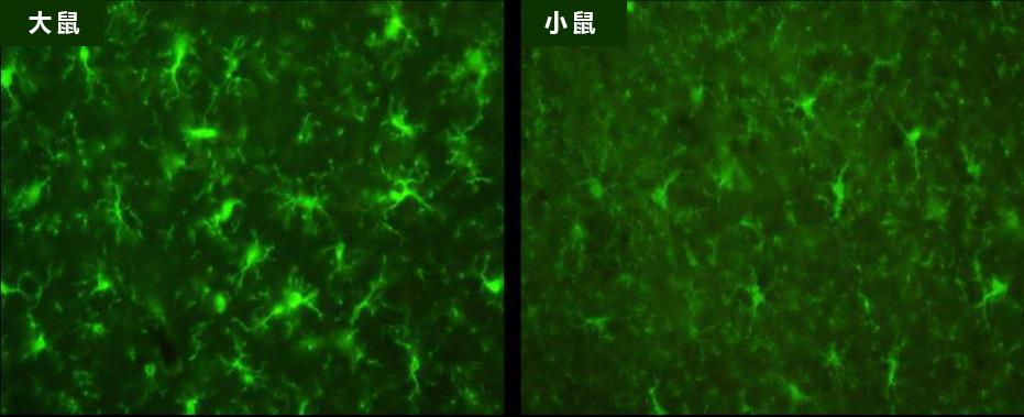 抗Iba1,山羊多克隆抗体-疾病研究-wako富士胶片和光